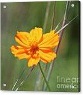 Flower Lit By The Sun's Rays Acrylic Print