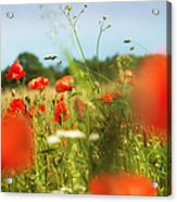Flower Meadow In Summer With Red Poppy Acrylic Print