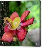 Flower Of Cannonball Tree Singapore Acrylic Print