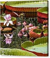 Flower Of Victoria Cruziana Acrylic Print