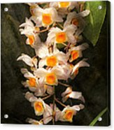 Flower - Orchid - Dendrobium Orchid Acrylic Print