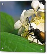 Flower Rise Over Beetle Acrylic Print
