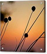 Flower Silhouettes I Acrylic Print