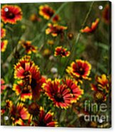 Texas Indian Blanket -  Luther Fine Art Acrylic Print