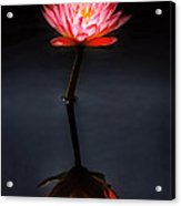 Flower - Water Lily - Nymphaea Jack Wood - Reflection Acrylic Print