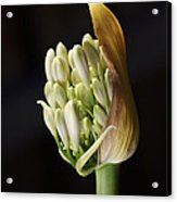 Flower-white-agapanthus-bud Acrylic Print