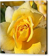 Flower-yellow Rose-delight Acrylic Print
