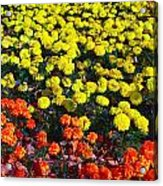 Flowerbed Of Narcissuses Acrylic Print
