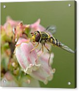 Flowerfly On Blueberry Blossom Acrylic Print