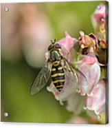 Flowerfly Pollinating Blueberry Buds Acrylic Print