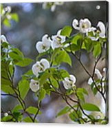 Flowering Branches Acrylic Print