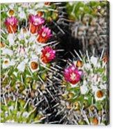 Flowering Cactus Acrylic Print