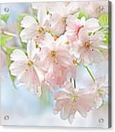 Flowering Cherry Tree Blossoms Acrylic Print