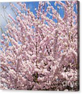Flowering Cherry Tree Acrylic Print
