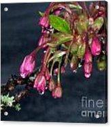 Flowering Cherry Trees Buds Acrylic Print