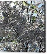 Flowering Cherry - White Acrylic Print