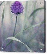 Flowering Chive Acrylic Print by Priska Wettstein
