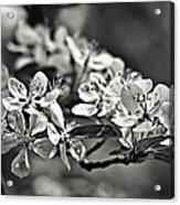 Flowering Crabapple 2 Bw Acrylic Print