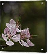 Flowering Crabapple Acrylic Print