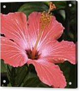 Flowering Hibiscus Acrylic Print by John Holloway