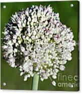 Flowering Leek - Topaz Clarity Demo Acrylic Print