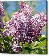 Flowering Lliac Bush Acrylic Print