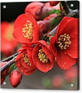 Flowering Quince Acrylic Print