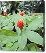Flowering Red Ginger Plant Acrylic Print