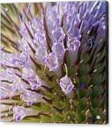 Flowering Teasel Acrylic Print