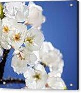 Flowering Trees Acrylic Print