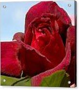 Flowers 459 Acrylic Print