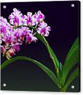 Flowers - Aerides Lawrenciae X Odorata Orchid Acrylic Print