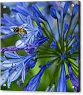 Flowers And Bee Acrylic Print