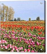 Flowers Blooming In Tulip Field In Springtime Acrylic Print