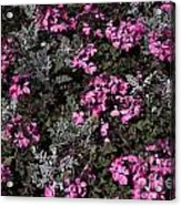 Flowers Dallas Arboretum V16 Acrylic Print