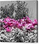Flowers Dallas Arboretum V17 Acrylic Print