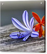 Flowers Of Blue And Orange Acrylic Print