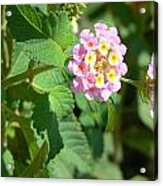 Flowers Of Pink And Orange Acrylic Print