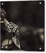 Flowers Sepia Acrylic Print
