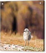 Fluffball Watching Acrylic Print by Anne Gilbert
