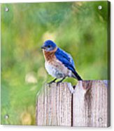 Fluffed Up Acrylic Print