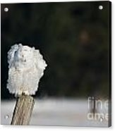 Fluffing Feathers Acrylic Print