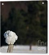 Fluffing On A Fence Post Acrylic Print