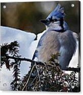 Fluffy Blue Jay Acrylic Print