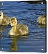Fluffy Floaters  Acrylic Print