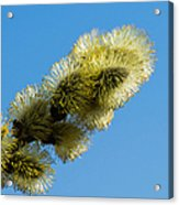 Fluffy Spring - 1 - Featured 3 Acrylic Print