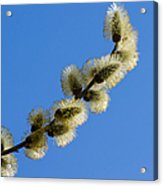 Fluffy Spring - 3 - Featured 3 Acrylic Print