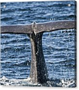 Flukes Of A Sperm Whale 2 Acrylic Print by Heiko Koehrer-Wagner