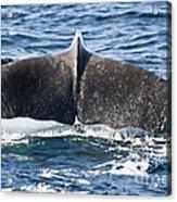 Flukes Of A Sperm Whale Acrylic Print