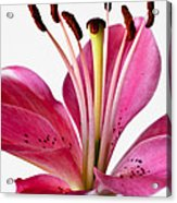 Fluttering Lily Acrylic Print